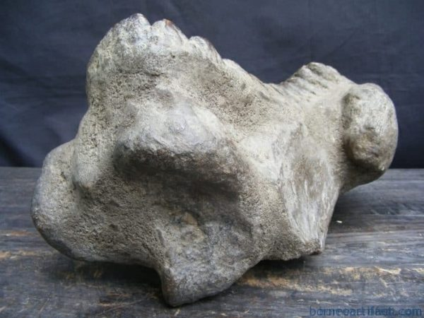 massive 12lb stegodon or mastadon fossil b4 dinosaur megalodon organic remains