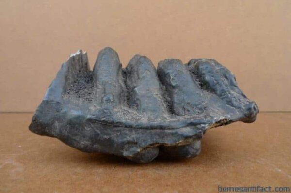 AUTHENTIC FOSSIL 140mm/ 5.5 STEGODON / MASTADON Fossils Teeth Bone Prehistoric