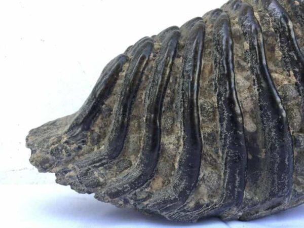 AMAZING GLAZED 4.8 lb STEGODON / MASTADON TEETH Fossil Fossils Prehistoric