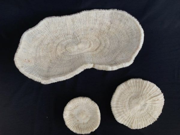 SLIPPER CORAL (3 pieces) Herpolitha Mushroom Fungiidae Tongue Mole Striate Boomerang Corals #1